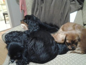 Cuddle of Cavaliers